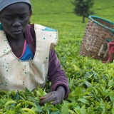 kenya tea farmer