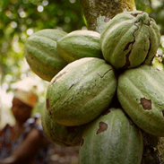 cocoa in Cote d'Ivoire