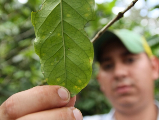 Farmer holding coffee leaf affected by La Roya